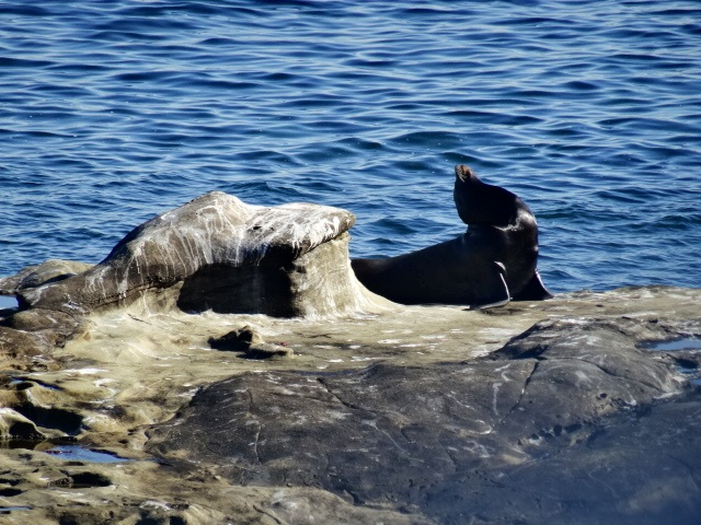 Sunbathing Seal
